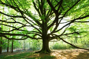 Forestry Trees Gallery: Beech Tree